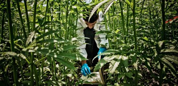 ITALY. Rovigo, 30th May 2013. Research Center for Industrial Cultivations. Experimental open air cultivation of hemp for textile and food use. An intern collects some leaves for a comparative research.